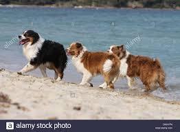 australian shepherd zu verkaufen hund australian shepherd aussie drei erwachsene verschiedene