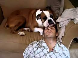 boxer dog youtube archie sleeping on papa u0027s head boxer dog youtube