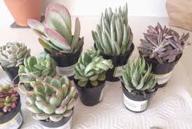 amazon succulents buying succulents online our recommendations and experiences