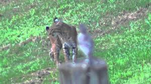 Connecticut wild animals images Bobcat sighting in north haven ct 2012 jpg