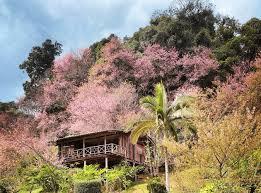film thailand di ktv 10 secret sakura spots in thailand to explore in december january