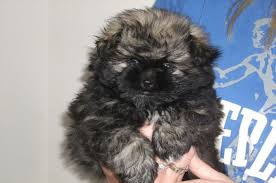affenpinscher terrier mix 7 surprising shih tzu puppies mix that best gift for your love ones