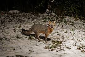 gray fox watch video 365 days of birds
