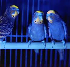 uv light for birds budgies under uv light credit dr kathryn arnold universi flickr