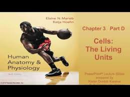Human Anatomy And Physiology Marieb Hoehn Anatomy U0026 Physiology Chapter 3 Part D Lecture Youtube