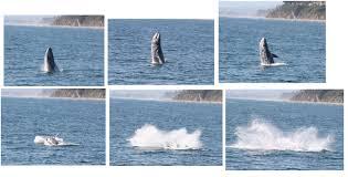 gray whale wikipedia