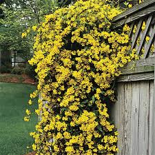 margarita carolina jessamine carolina jasmine jasmine plant and