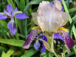 iris germanica pbmgarden