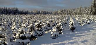 wholesale christmas trees available in los angeles california