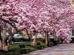 34 best magnolia trees images on magnolia trees tulip