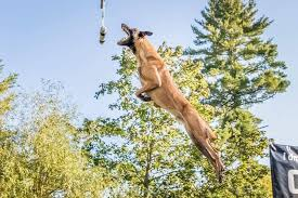 belgian malinois competition the latest sport you u0027ve never heard of dockdogs or canine