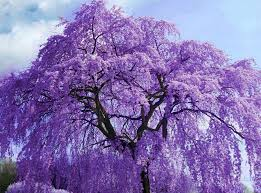 tree with purple flowers purple wisteria tree flowers via colorfull at www