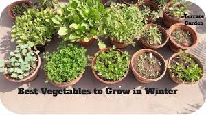terrace gardening best winter vegetables grow in containers in