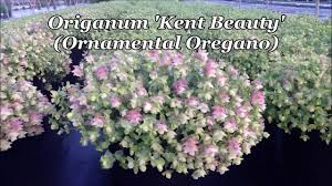 best perennials origanum kent ornamental oregano