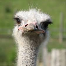 Ostrich Meme - man ostrich 457 on twitter here is my second meme it s breaking