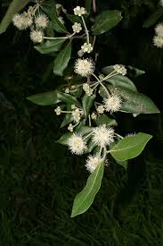 native plants south east queensland syncarpia glomulifera wikipedia
