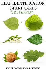 montessori tree printable leaf identification 3 part cards for montessori activities