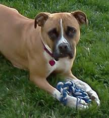 boxer dog with tail happy tail a boxer claims an adopter u0027s heart petfinder