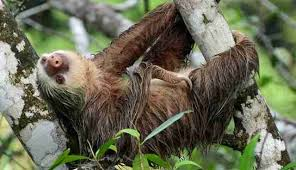 Angry Sloth Meme - 8 awesome things you didn t know about sloths the dodo