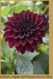succulents meaning dahlia meaning my succulents pinterest dahlia flowers and
