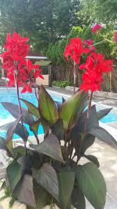 New England Backyards by 11 Best Cordyline Palms Images On Pinterest Garden Plants