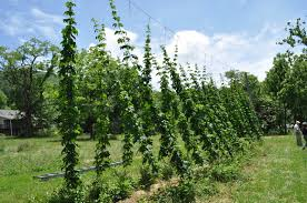 anyone happen to have hops for trade sasbe forum ads the