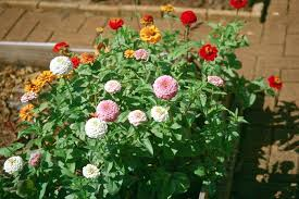 let zinnias add a splash of color to the garden hawaii horticulture