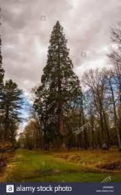sequoia at blackwater arboretum rhinefield ornamental drive new