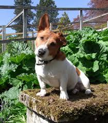 Topiary Dog Drummond Gardens Gundog Scurry Easter Saturday