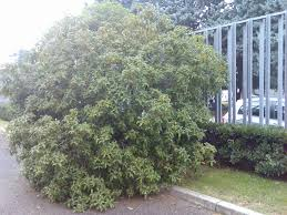 leighton green hedging cypress hello japanese plants page 2 of 2 hello hello plants u0026 garden supplies