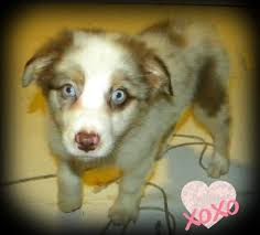 australian shepherd breeders near me best 25 aussie puppies for sale ideas on pinterest mini aussie
