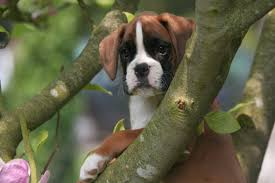 boxer dog 2015 animals boxer dog puppies high resolution wallpaper for