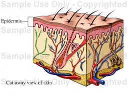 Human Anatomy Integumentary System Copy Of The Integumentary System Lessons Tes Teach