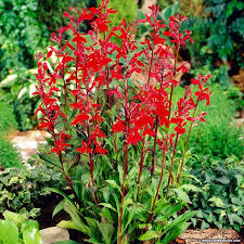 cardinal flower cardinal flower lobelia cardinalis american