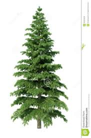fir tree stock illustration image of clear coniferous 32267626