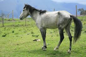 white mustang horse five common mistakes made when feeding a horse ecoequine
