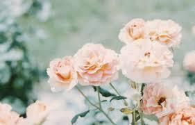 Peach Flowers Green Flowers 33 Background Wallpaper Hdflowerwallpaper Com
