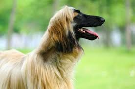 afghan hound weight 10 elegant facts about the afghan hound mental floss