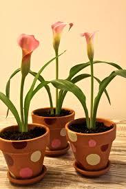 28 black calla lily bulbs calla lily black forest