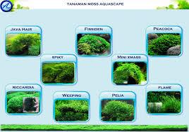 Aquascape Moss Pertanyaan Kegunaan Moss Aquascape Alam Ikan