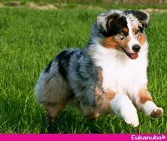 problems with australian shepherds australian shepherd i want one that pretty much looks just like