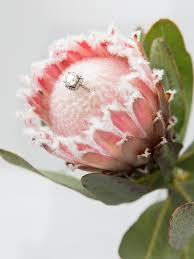 protea flower wedding flower power the unparalleled protea