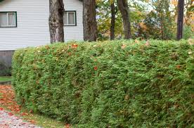 backyard ideas for privary landscaping property lines arborvitae