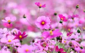 Beautiful Flowers Www Beautiful Flowers Hd Wallpapers Com Flowers Ideas