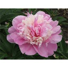 peonies for sale peonies bulbs for sale peony sorbet terra ceia farms
