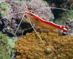 skunk cleaner shrimp an omnivorous shrimp species which will