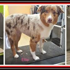 australian shepherd haircuts pet rush inn 108 photos u0026 89 reviews pet sitting 115 w