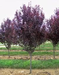 trees with burgundy leaves purple leaf plum tree ls