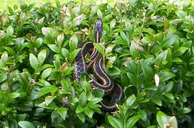 animal evictions llc professional snake trapping removal