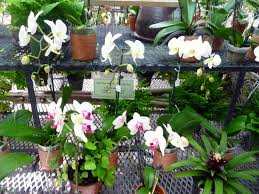 orchids for sale blooming orchids for sale picture of r f orchids homestead